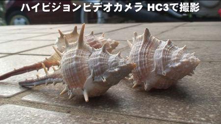 ハイビジョンで撮影した貝